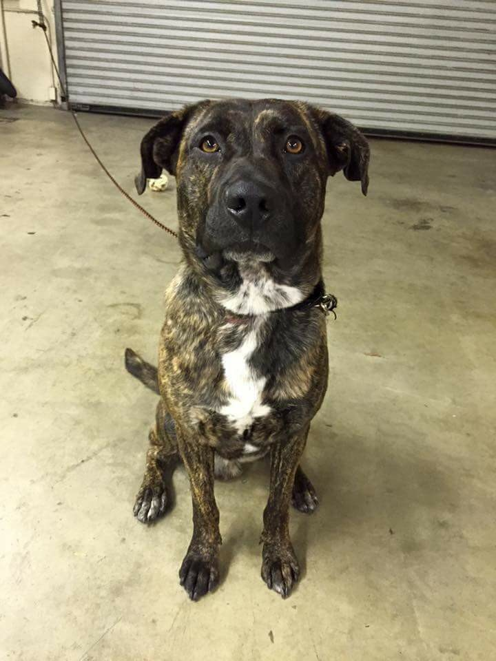 Adopted Bear Brindle Mastiff Summit